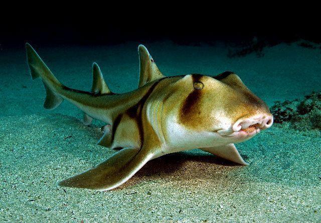 Requin Dormeur Taureau