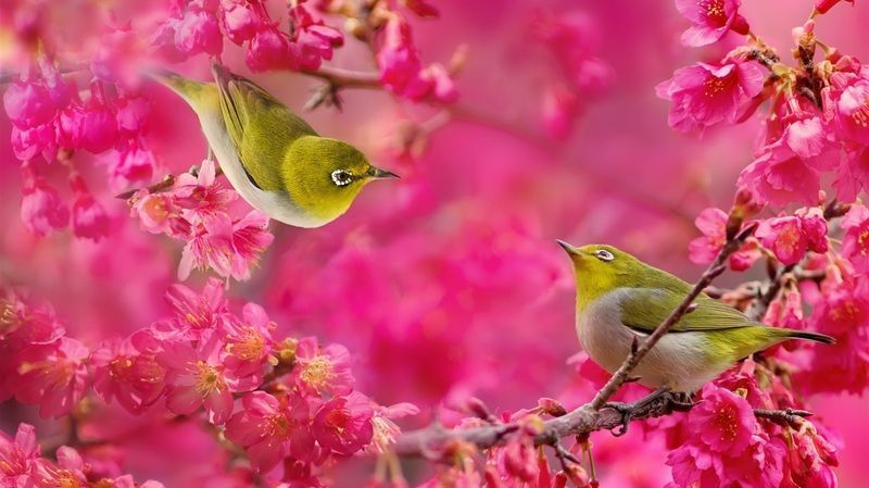 White-eye-birds-red-flowers-tree_1366x768.jpg