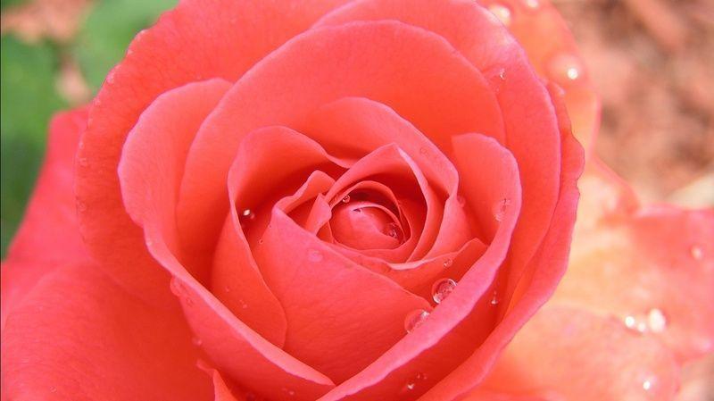 tropicana_rose-1366x768.jpg